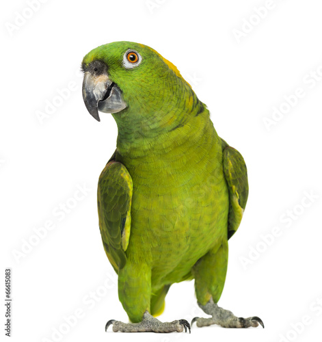 Obraz na płótnie Yellow-naped parrot (6 years old), isolated on white
