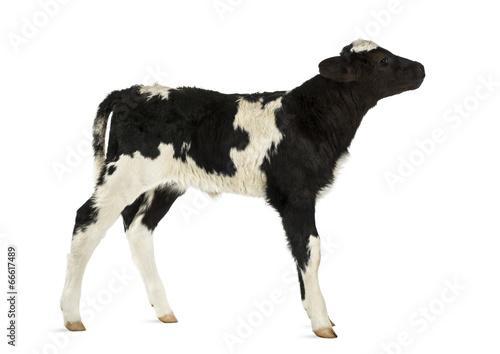 Belgian blue calf isolated on white Poster Mural XXL