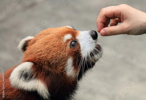 lovely red panda being fed Fototapeta