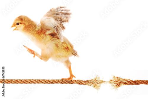 Leinwand Poster Küken, das auf einem Seil läuft, um zu brechen
