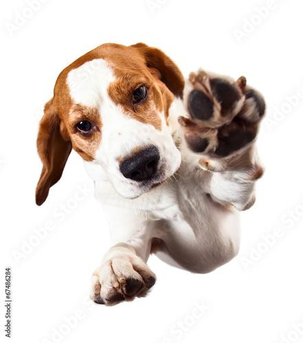 Obraz na plátně beagle  on white