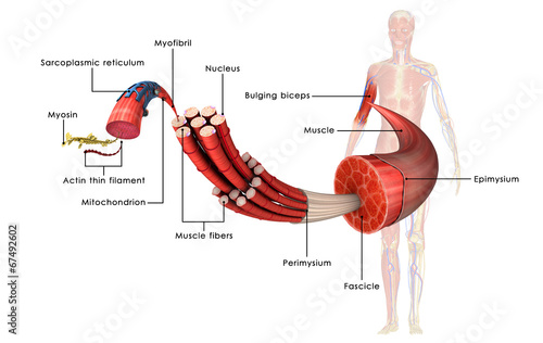 Canvas Muscle Anatomy