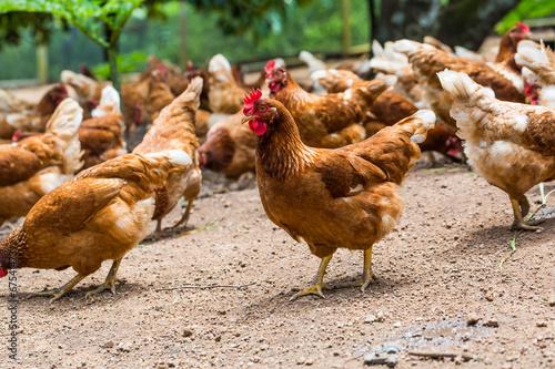 Obraz na płótnie Happy hens