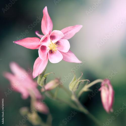 Fotografija pink Aquilegia