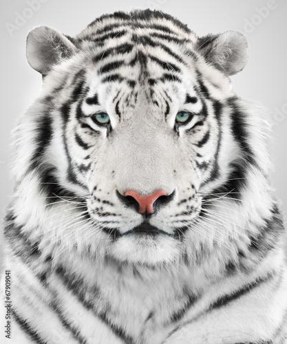 Naklejka na szafę Biały Tygrys