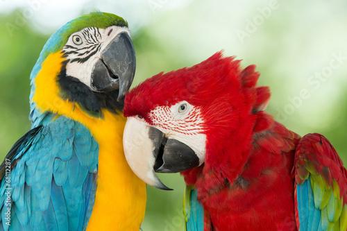 Fototapeta premium parrots