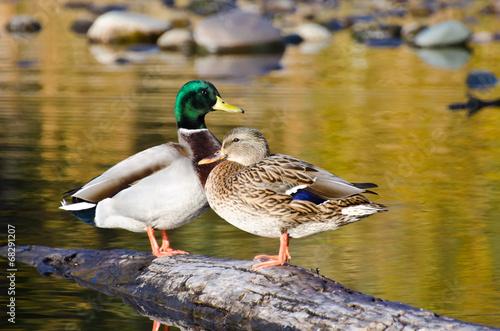 Fotografering Pair of Mallard Ducks Resting in an Autumn Pond