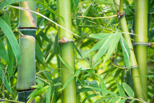 Fototapeta premium bambus
