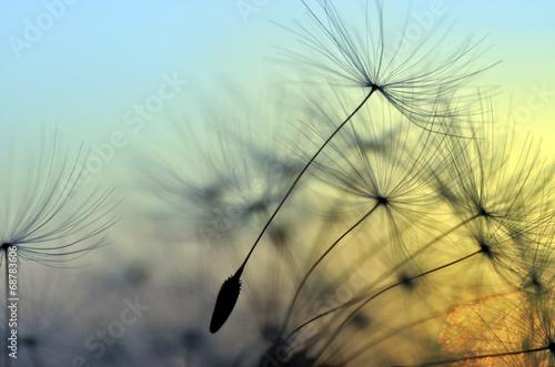 Golden sunset and dandelion, meditative zen background #68783606
