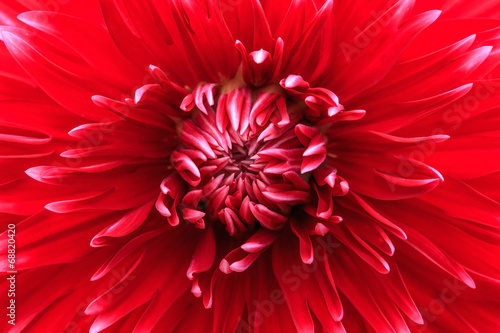 Close-up red dahlia in bloom