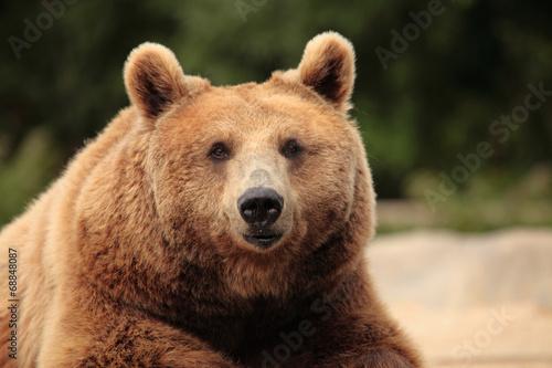 Canvas Print wild brown bear