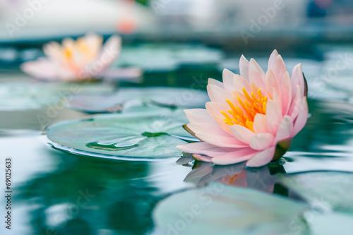 A beautiful pink waterlily or lotus flower in pond Fototapeta