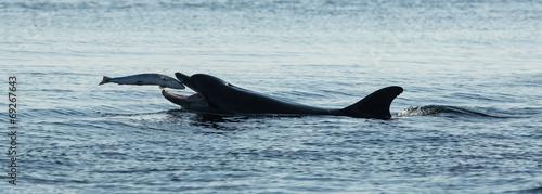 Canvas Bottlenose Dolphin (Tursiops truncatus) with Salmon