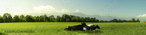 Foto cow
