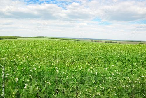 Fotografia Pea field and blue sky