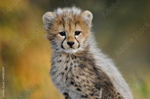 Leinwand Poster African Cheetah Cub