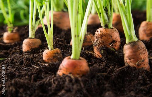 Photo carrots in the garden