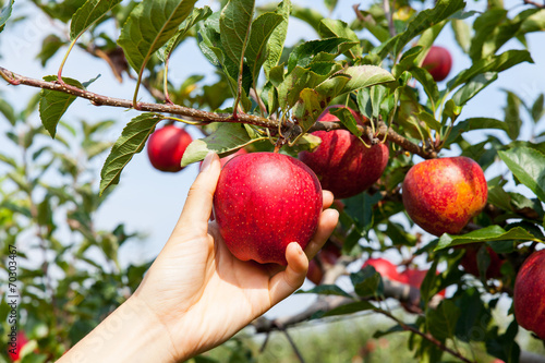 woman hand picking an apple Fototapeta