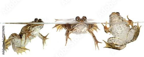 Valokuva common frog