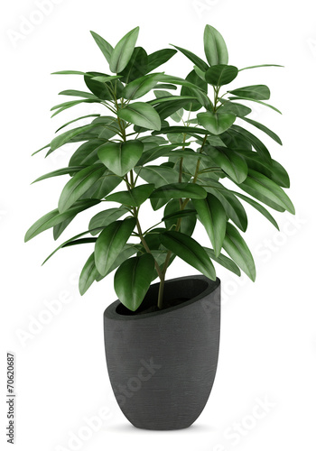 Canvas Print houseplant in black pot isolated on white background