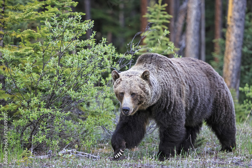 Canada, Alberta, Jasper and Banff National Park, Male Grizzly bear
