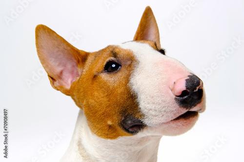 Wallpaper Mural Portrait of the dog breed bull terrier on white background