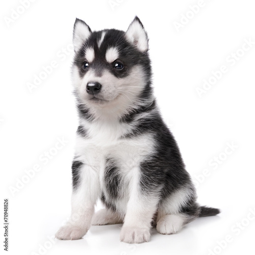Stampa su Tela Cute little husky puppy isolated on white background