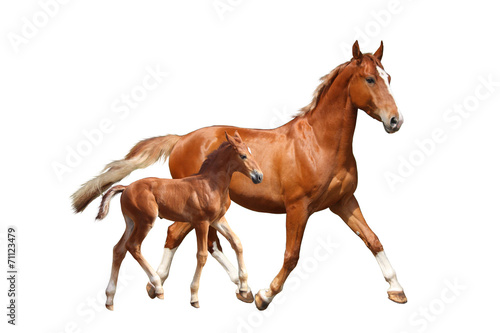 Obraz na płótnie Cute chestnut foal and his mother trotting on white background