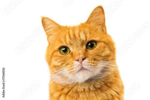 Fotografija ginger cat isolated