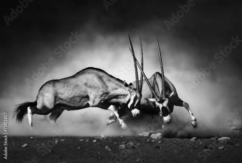 Leinwand Poster Gemsbok fight