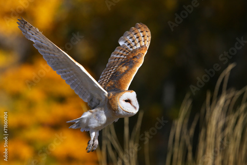 Canvas Print Barn owl in flight