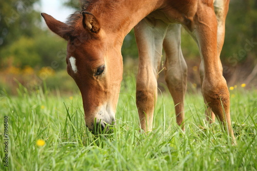 Leinwand Poster Cute chestnut foal at the grazing