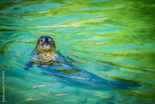 Fototapeta premium foca comune - seal
