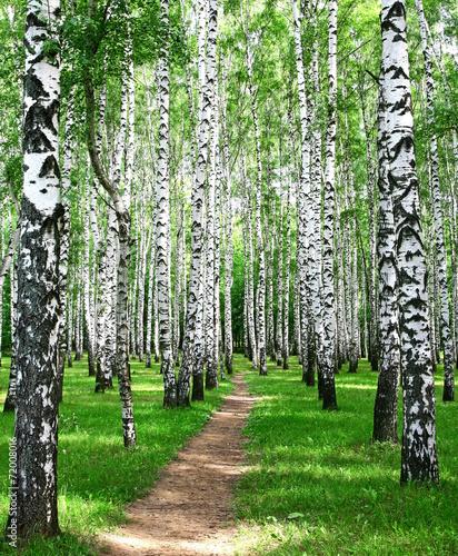 Pathway in the summer birch grove #72008016