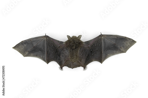 bat isolated on white background