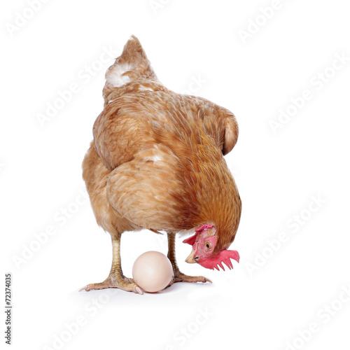 Carta da parati poule avec oeuf