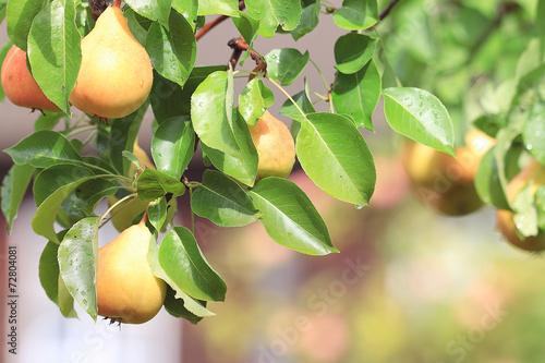 pear on a branch of ripe yellow