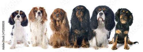 Valokuva six cavalier king charles
