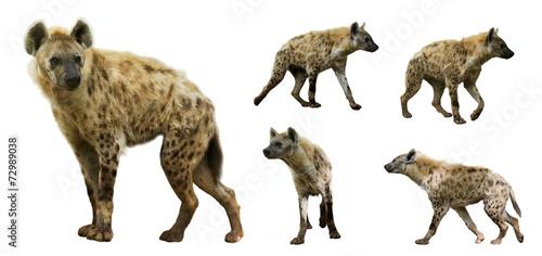 Fotografie, Tablou Set of  hyenas. Isolated  over white background