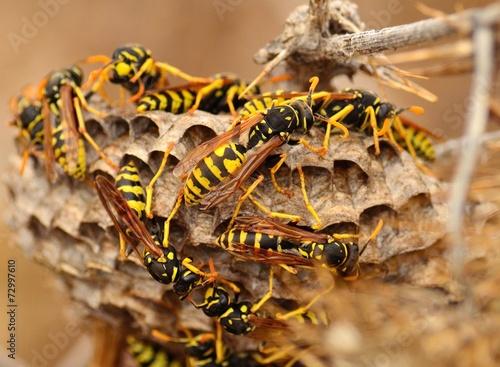Vászonkép Swarm of wasps around the nest