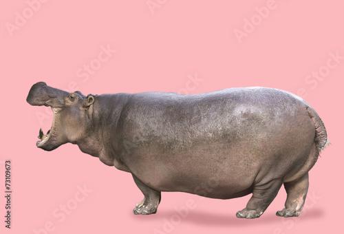 Fotografia, Obraz Hippo