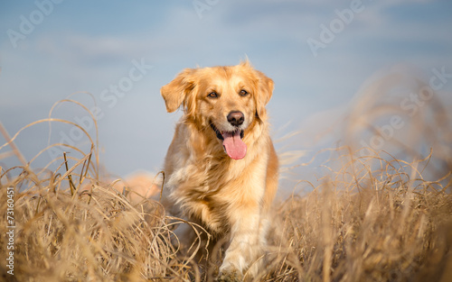 Golden retriever dog running outdoor Fototapeta
