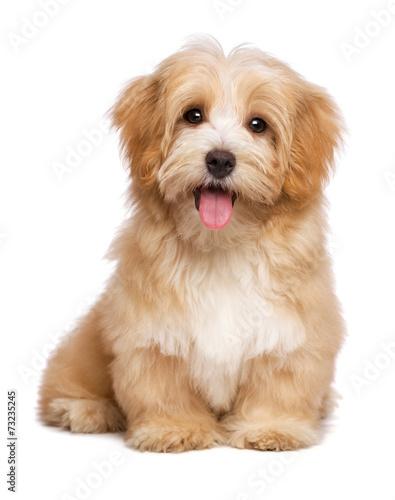 Beautiful happy reddish havanese puppy dog is sitting frontal