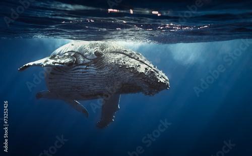 Fotografia, Obraz Humpback whales - Reunion island 2014.
