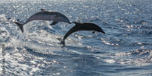 frei schwimmende Delfine vor Teneriffa