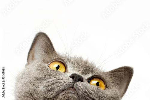 Fototapeta Britská krátkosrstá kočka