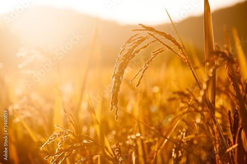 Photo Rice field