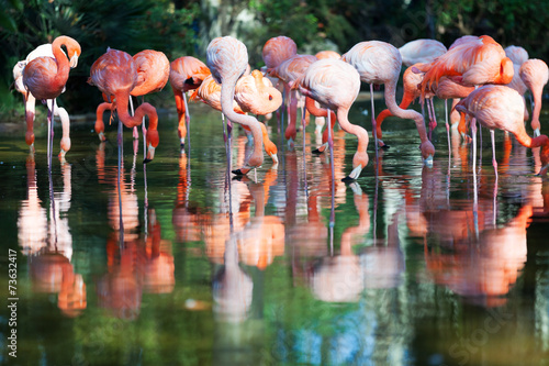 flamingos standing in water of pond #73632417