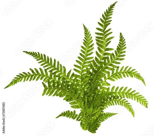 Fotografie, Obraz Green leaves of fern isolated on white