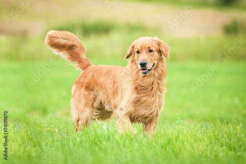 Obraz na płótnie Golden retriever running on the lawn